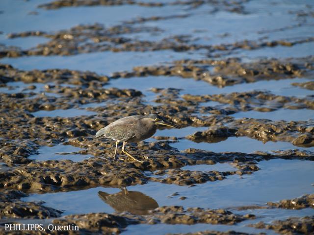 image 1432 of Striated Heron