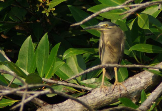 image 5111 of Striated Heron