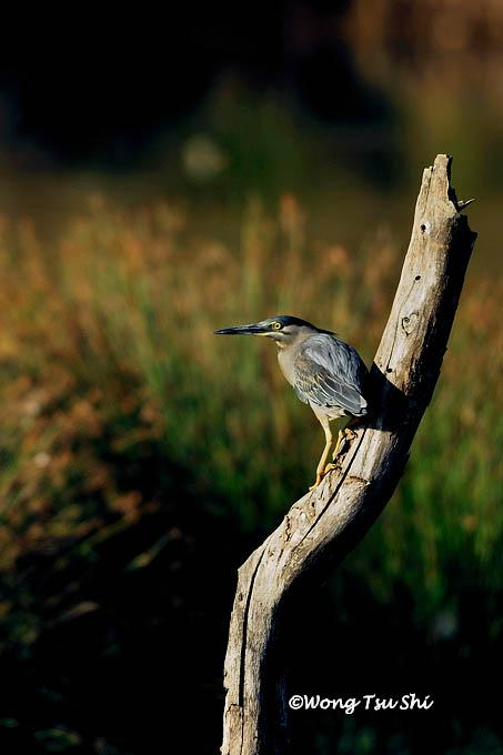 image 370 of Striated Heron