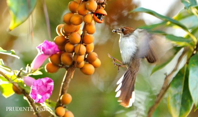 image 1868 of Chestnut-crested Yuhina