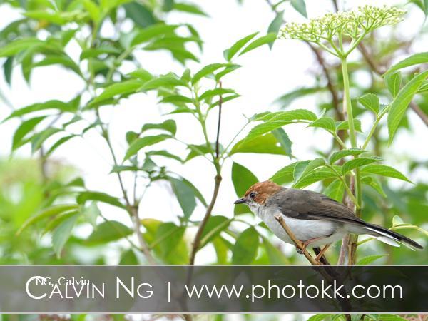 image 5086 of Chestnut-crested Yuhina