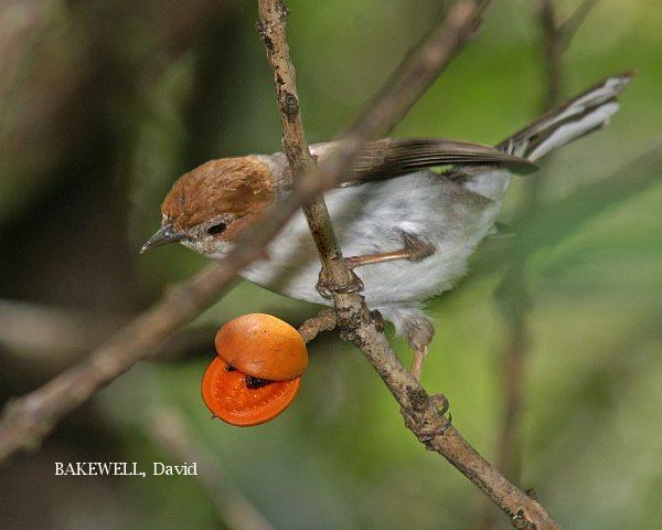image 3992 of Chestnut-crested Yuhina