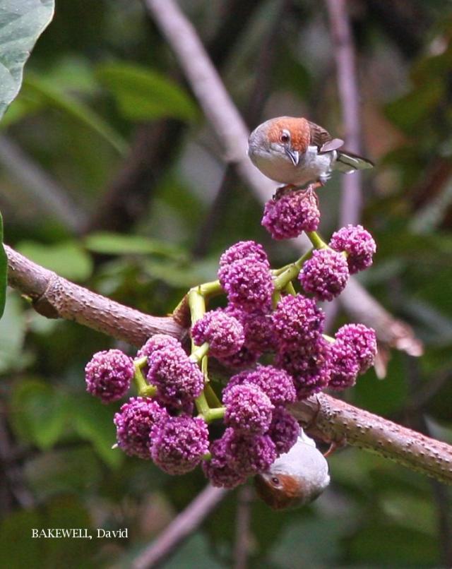 image 4270 of Chestnut-crested Yuhina