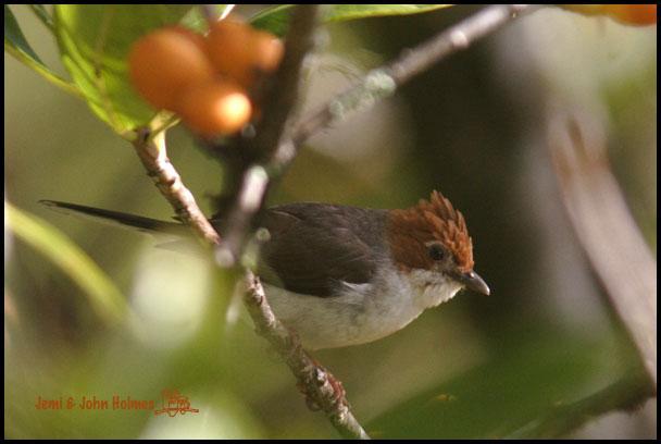 image 2493 of Chestnut-crested Yuhina