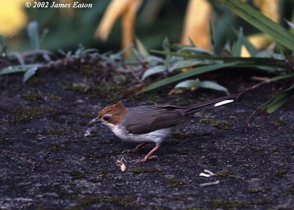 image 2274 of Chestnut-crested Yuhina