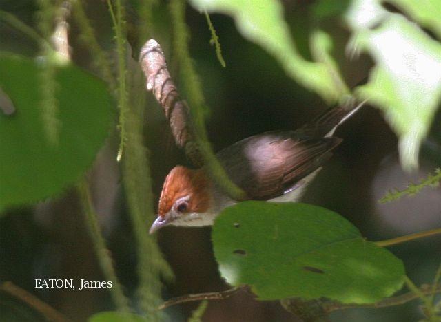 image 3634 of Chestnut-crested Yuhina