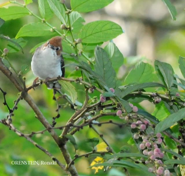 image 5129 of Chestnut-crested Yuhina