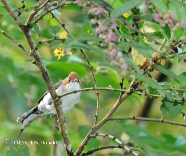 image 5130 of Chestnut-crested Yuhina
