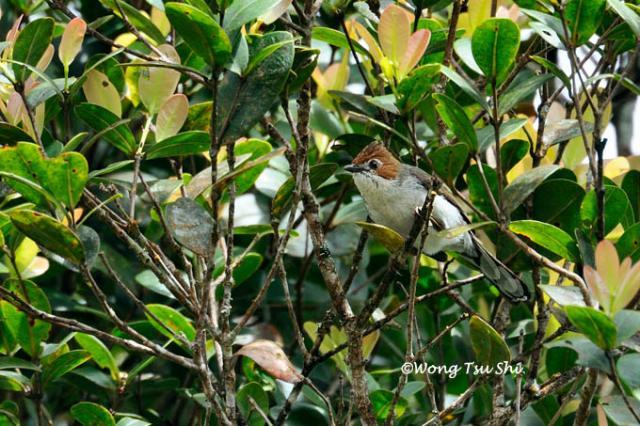 image 788 of Chestnut-crested Yuhina
