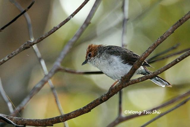 image 676 of Chestnut-crested Yuhina