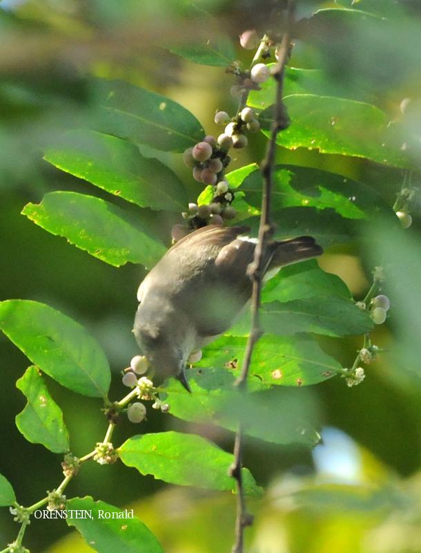image 5120 of Bornean Ibon