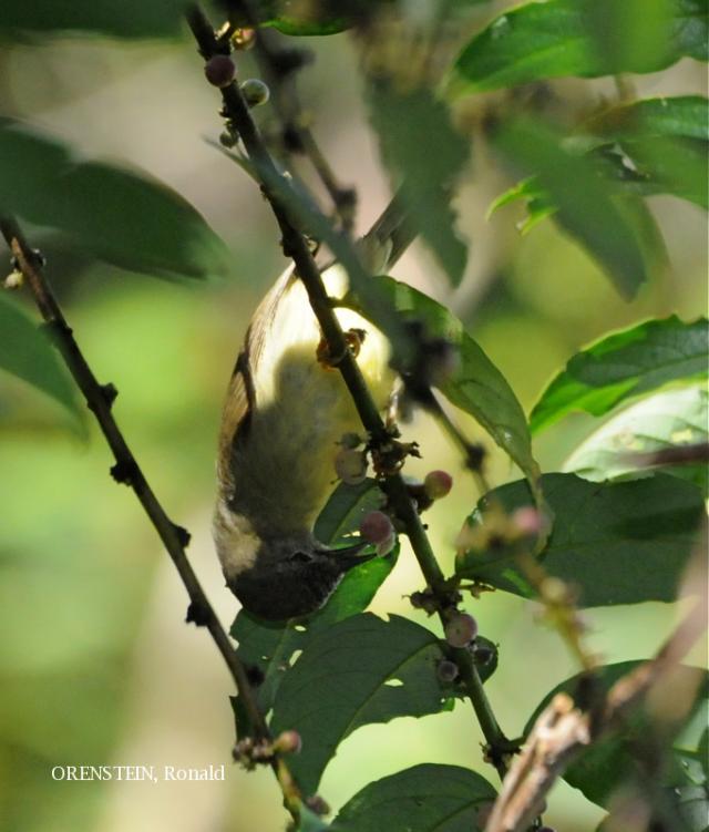 image 5126 of Bornean Ibon
