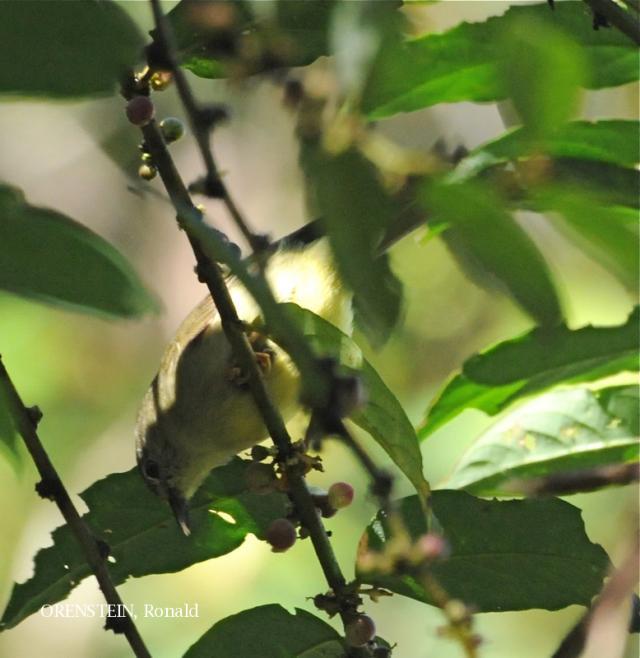 image 5125 of Bornean Ibon