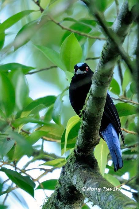 image 964 of Asian Fairy-bluebird