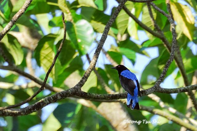 image 397 of Asian Fairy-bluebird