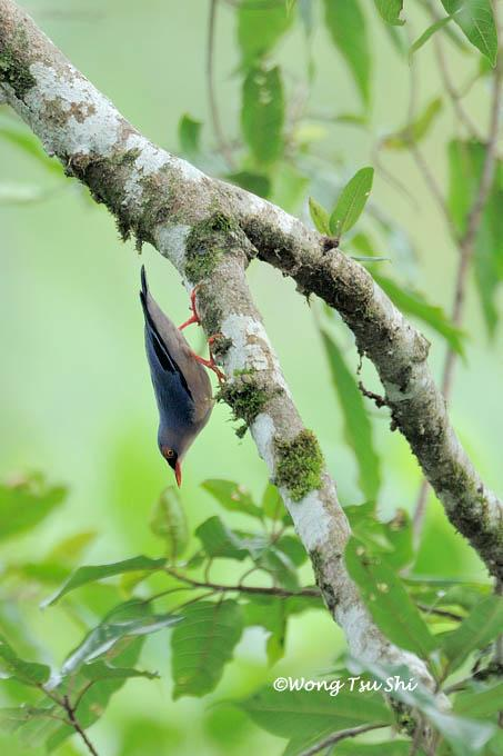 image 965 of Velvet-fronted Nuthatch