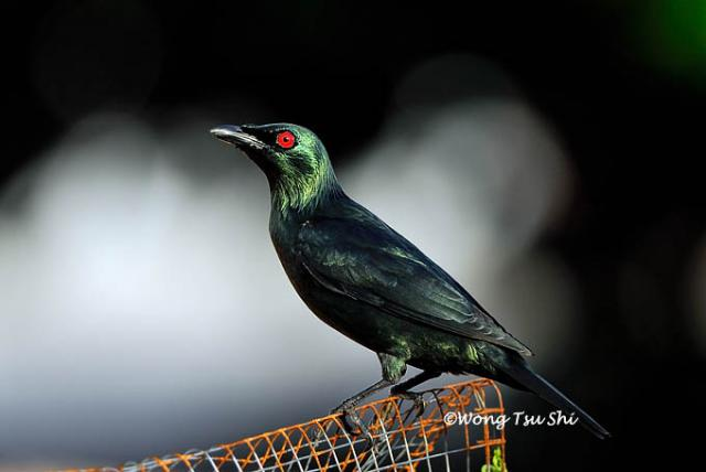 image 412 of Asian Glossy Starling