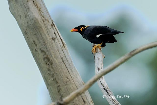 image 465 of Hill Myna