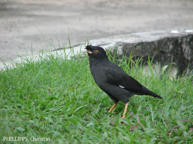 image 1687 of Crested Myna