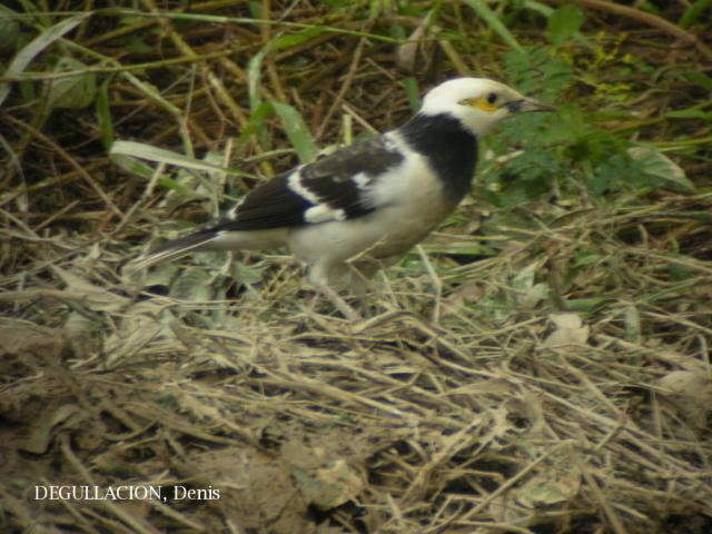 image 5768 of Black-collared Starling