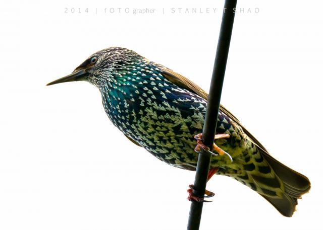 image 7200 of European Starling