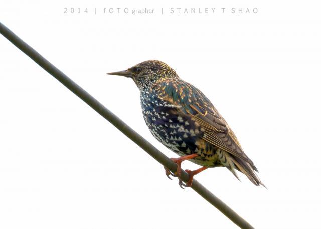 image 7201 of European Starling