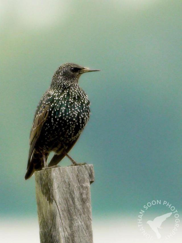 image 6495 of European Starling