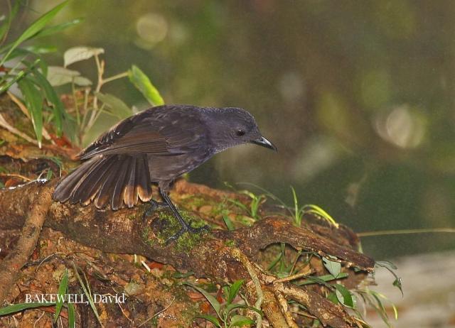 image 4281 of Bornean Whistling Thrush
