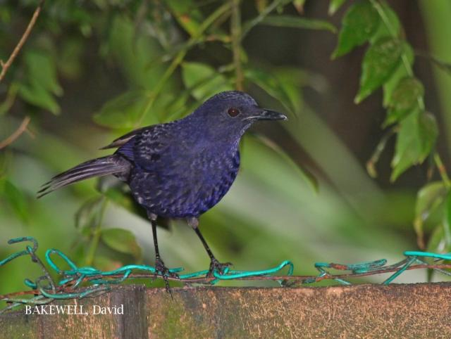 image 4282 of Bornean Whistling Thrush
