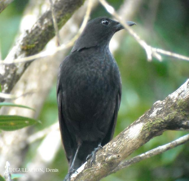 image 5841 of Bornean Whistling Thrush