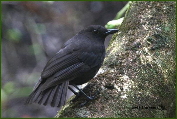 image 2503 of Bornean Whistling Thrush
