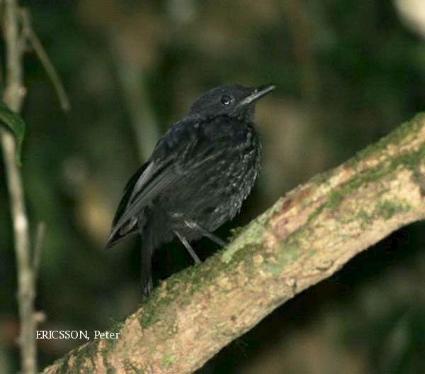 image 2654 of Bornean Whistling Thrush
