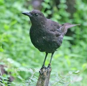 image 2083 of Bornean Whistling Thrush
