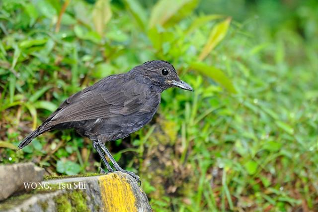 image 3306 of Bornean Whistling Thrush