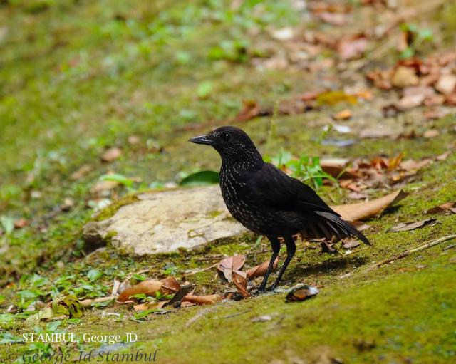 image 6024 of Bornean Whistling Thrush