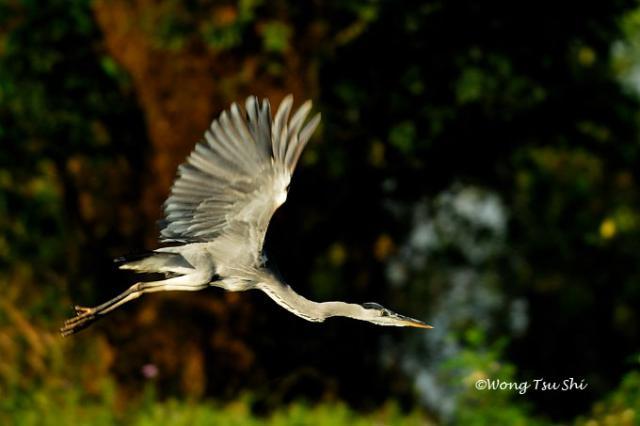image 369 of Grey Heron
