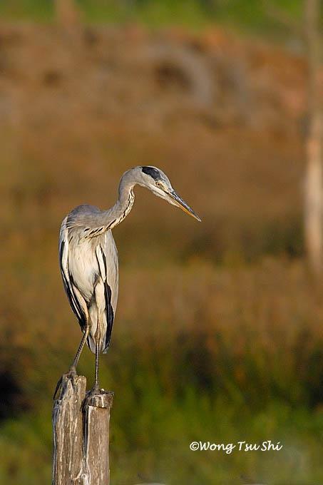 image 368 of Grey Heron