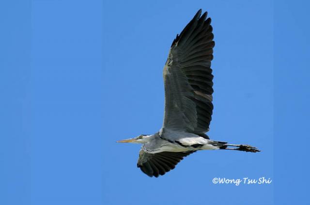 image 814 of Grey Heron