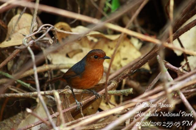 image 3601 of White-browed Shortwing