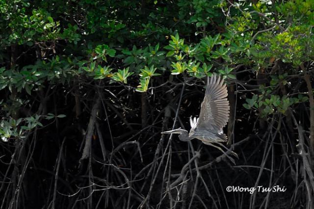 image 815 of Great-billed Heron