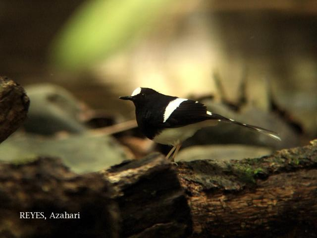 image 3327 of Bornean Forktail