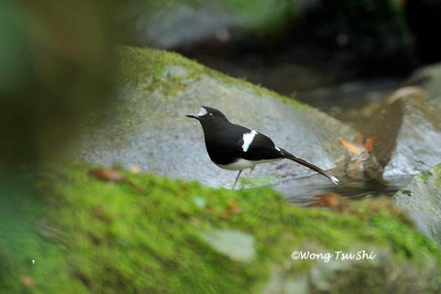 image 1382 of Bornean Forktail