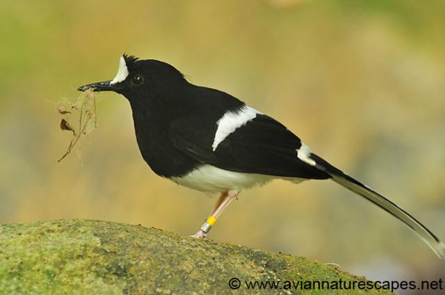 image 364 of Bornean Forktail