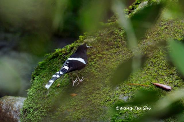 image 1381 of Bornean Forktail
