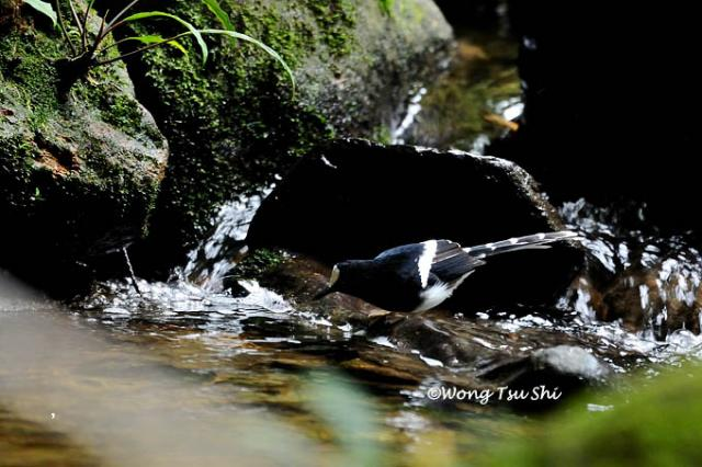 image 1336 of Bornean Forktail