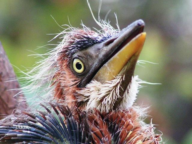 image 1505 of Purple Heron