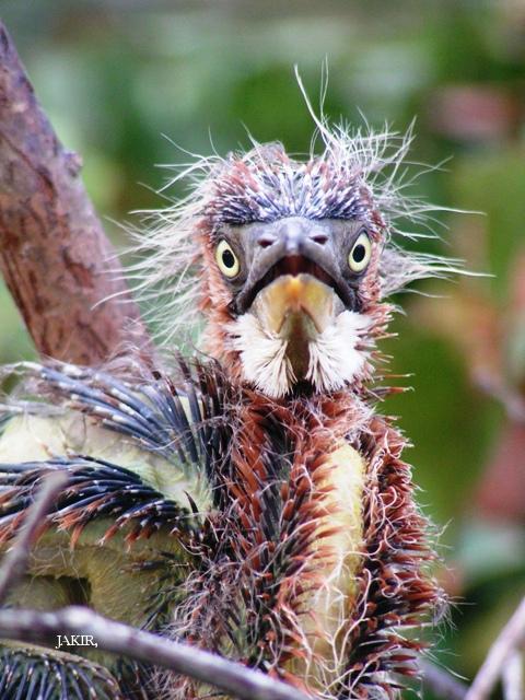image 1506 of Purple Heron