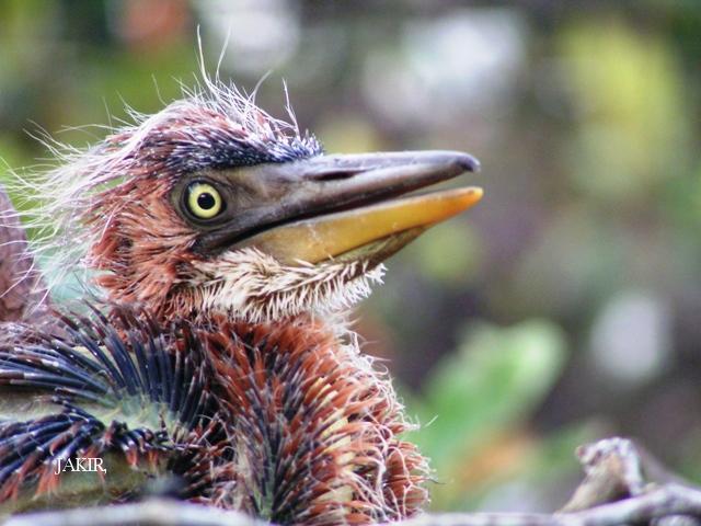 image 1504 of Purple Heron