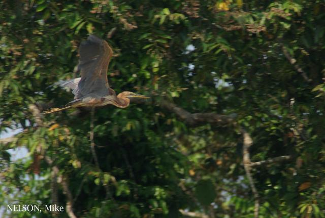 image 5174 of Purple Heron