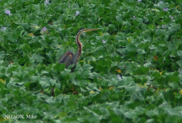 image 5175 of Purple Heron